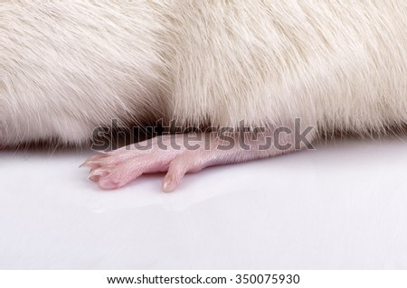 back foot of lab rat on a background of the body, closeup - stock photo