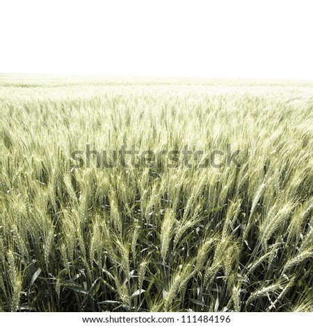 back-lighted green wheat field