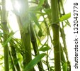 Back lit detail of a bamboo grove - stock photo