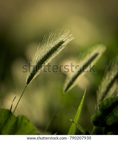 Back lit grass seed heads with bokeh background