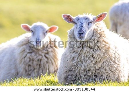 Back lit sheep lying down on grass facing camera on a sunny winters day - stock photo