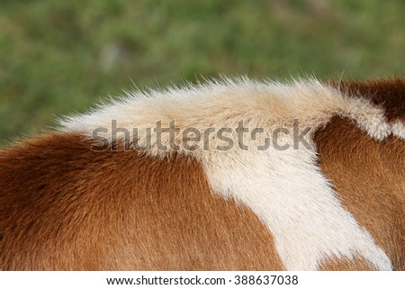 Back of a Simmental cow in Switzerland - stock photo