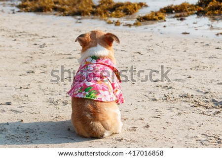 Back of Chihuahua dog on the beach wearing flowers shirt. - stock photo