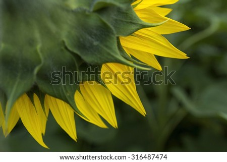 Back of yellow sunflower on the green background - stock photo