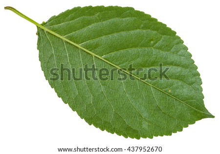 back side of green leaf of wild cherry tree (Prunus cerasus) isolated on white background