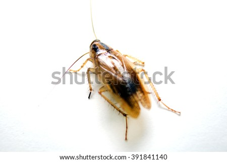 Back side view of German Cockroach (Blattella germanica)  - stock photo