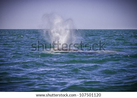 Back spine of grey whale is visible as it dives - stock photo