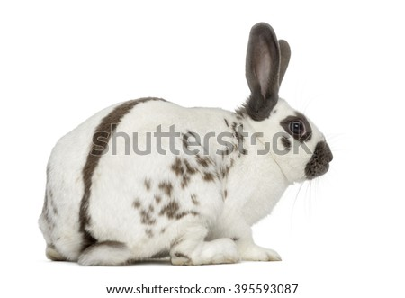 Back view of a Black fire rabbit isolated on white