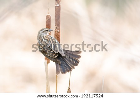 Back view of a female red-winged blackbird showing feathers and tail