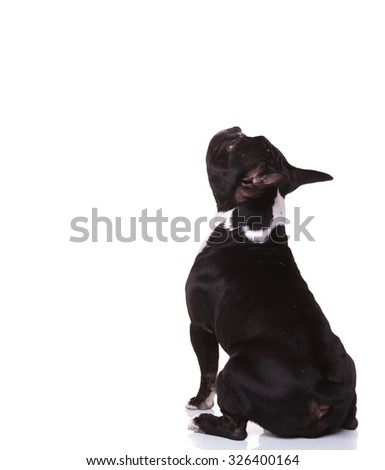 back view of a seated little french bulldog puppy looking up to something isolated on white background - stock photo