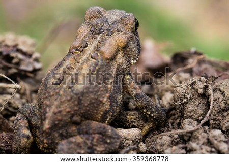 Back View of Camouflaged Garden Toad in the Dirt. - stock photo