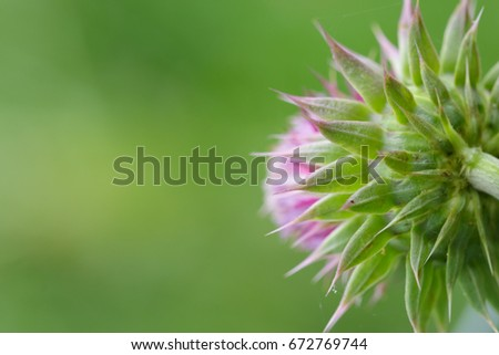 Back view of Thistle Flower Head