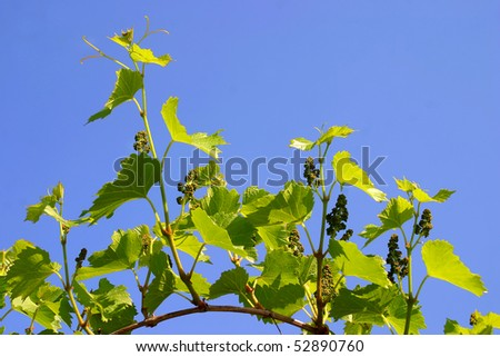 Backdrop of grape or vine leaves isolated on blue sky - stock photo