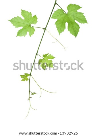 backdrop of grape or vine leaves isolated on white background - stock photo