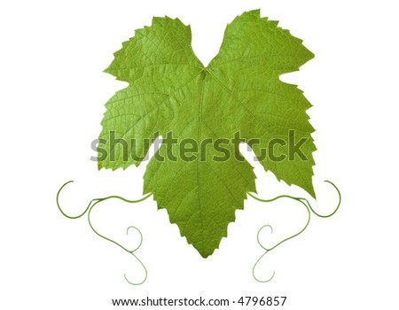 backdrop of grape or vine leaves isolated on white background.Please take a look at my other images of grape-leaves - stock photo
