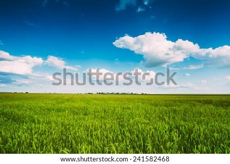 Backdrop Of Green Wheat Ears Field On Cloudy Blue Sky Background. Spring Season - stock photo