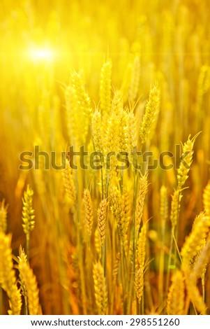 Backdrop of ripening ears of yellow wheat field. - stock photo