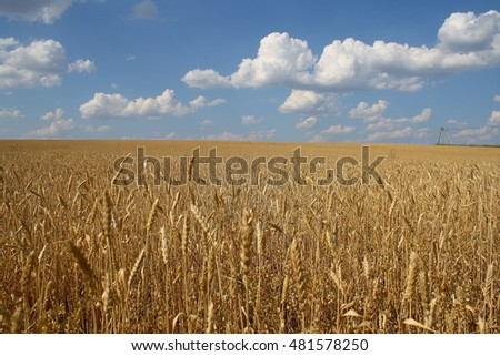 Backdrop of yellow wheat ears field