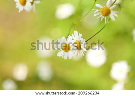 Backgound with chamomile flowers - stock photo