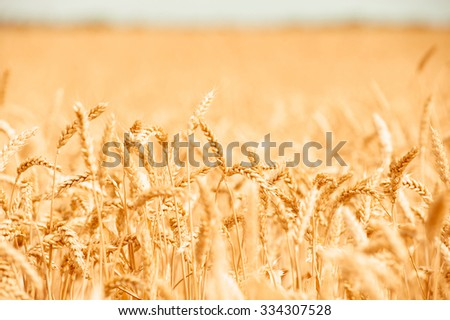 background, backdrop of  yellow ears on the beautiful golden wheat field - stock photo