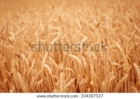 background, backdrop of  yellow ears on the beautiful golden wheat field