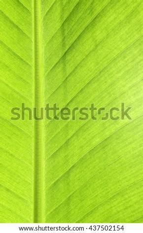 Background banana leaf beautiful - stock photo
