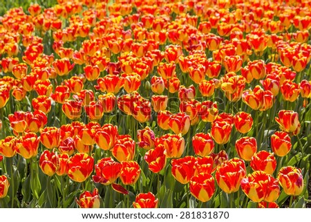 background bed covered with scarlet tulips with yellow border - stock photo