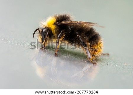 background bee (Macro) - stock photo