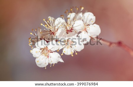 background branch with flowers of cherry  - stock photo