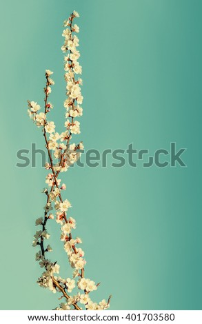 background branch with flowers of cherry against the blue sky - stock photo