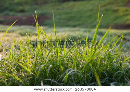 Background close-sharp grass with dew in the morning - late sun faintly. - stock photo