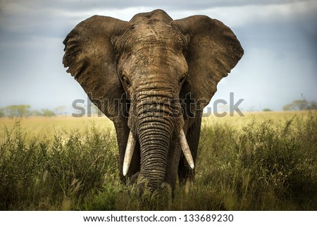 background elephant - stock photo