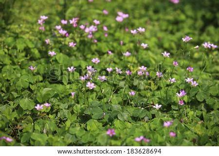 background flower is oxalis - stock photo