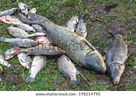 background freshwater fish caught in the river carp, carp and channel catfish