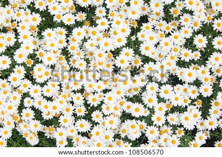 Background from beautiful white camomiles - stock photo
