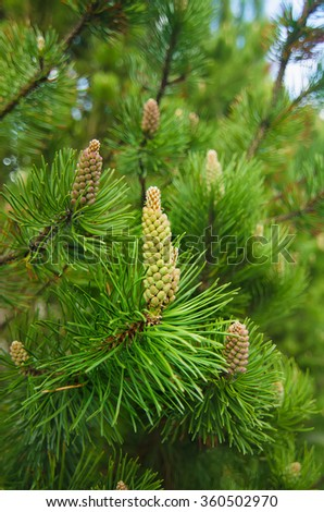 Background from conifer evergreen tree branches with cones
