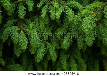 Background from green Fir tree branch. Fluffy young branch Fir tree with raindrops, close up - stock photo