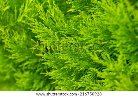 Background from juniper branches - stock photo