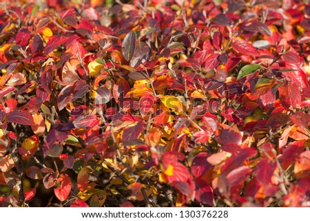 background from red autumn leaves of chokeberry