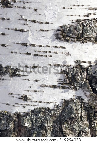 background from the bark of the birch - stock photo