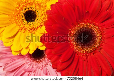 Background from various colors gerbera - stock photo