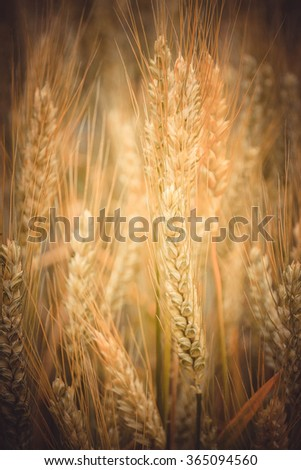 background full ear of ripened grain filter