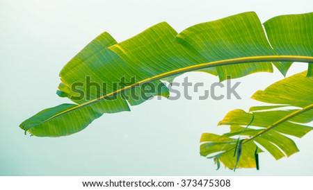 Background green banana leaf Green leaves - Stock Image - stock photo