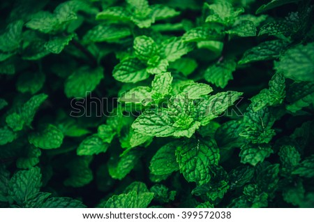 Background  green leaves.herb leaves.mint leaf.green leaves.Background herbs.Kitchen Mint, Marsh Mint .Peppermint leaf.Green leaf .Fresh Green Leaf.Tiny green leaves for background.herb garden - stock photo