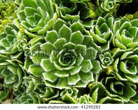 background houseleek plant - stock photo