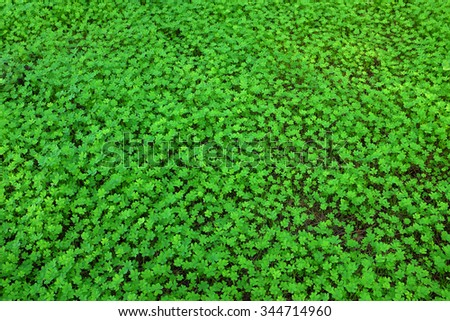 Background image of a green carpet of fresh clovers - stock photo