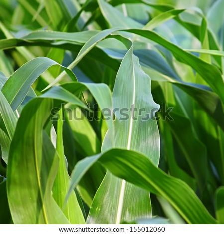 Background image of an Illinois cornfield - stock photo