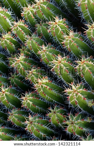 Background image of Euphorbia Echinus