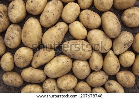 background image of freshly harvested potatoes on soil - stock photo