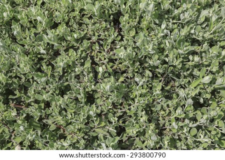 Background image of Privet Hedge green leaves. - stock photo